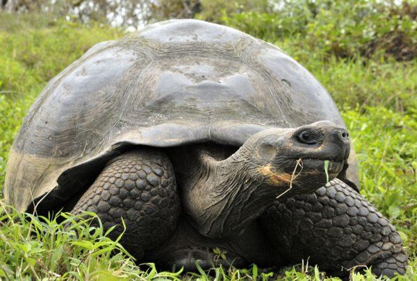 Galapagos tortoise or Galapagos giant tortoise